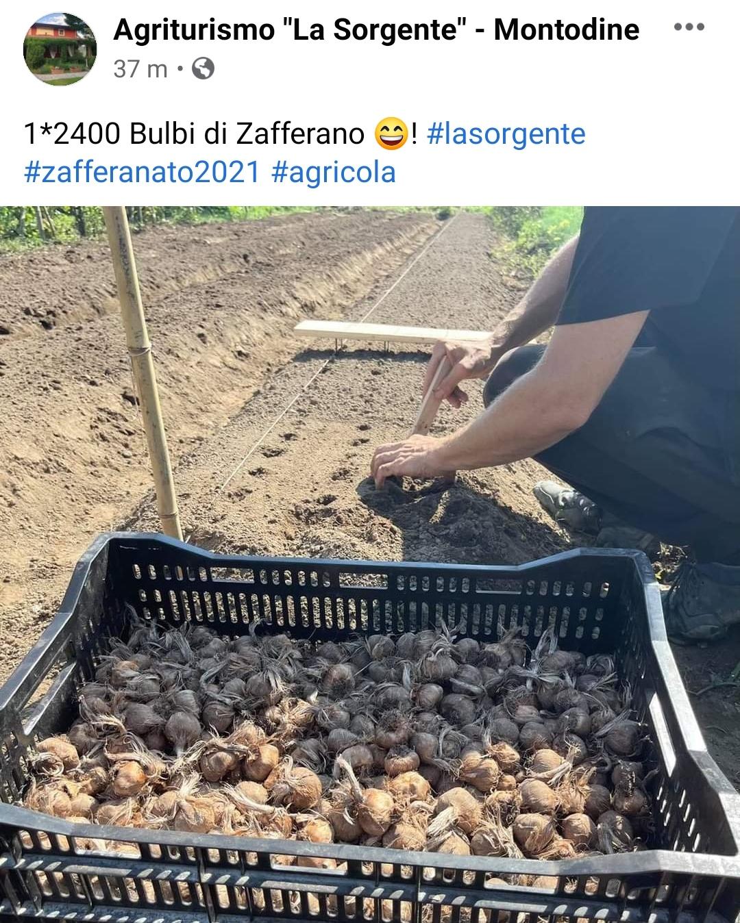 Grandioso a Montodine, il Borgo più Rock del Granducato del Tortello: Habemus la coltivazione di Zafferano…